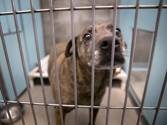 A dog waits for adoption inside her kennel on Dec. 26 at the Farmington Animal Shelter.