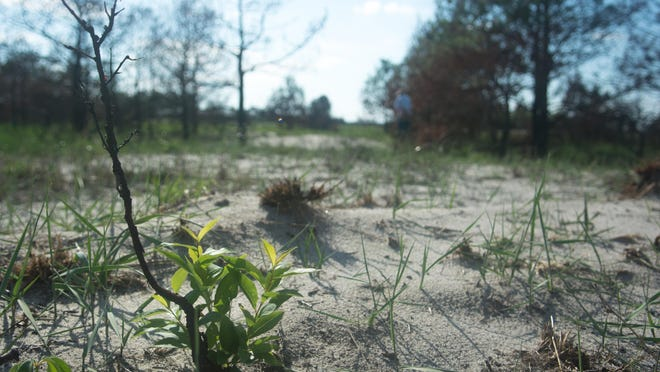 A black cherry tree starts to grow again after a fire near Savage's Ditch.