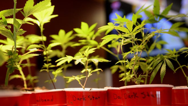 Dark Star marijuana plants sit on display last year at the Puff-n-Stuff store in Lansing. The store, also known as a provisioning center, is believed to be one of about 60 in the city.