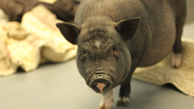 This is Boris. He is a pig that was taken by Animal Control to Almost Home Humane Society and he could be yours.