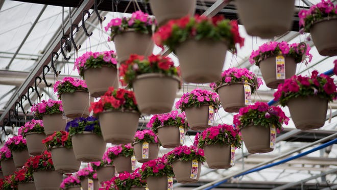 Baskets of petunias hang inside a greenhouse in Granville, Illinois, in 2015. A lawsuit involving the Candy Bouquet, a pretty, magenta-and-yellow flower that resembles a petunia, reveals the dark side of the garden supply industry and the growing importance of big retailers like Home Depot, Lowe's and Wal-Mart Stores to growers.