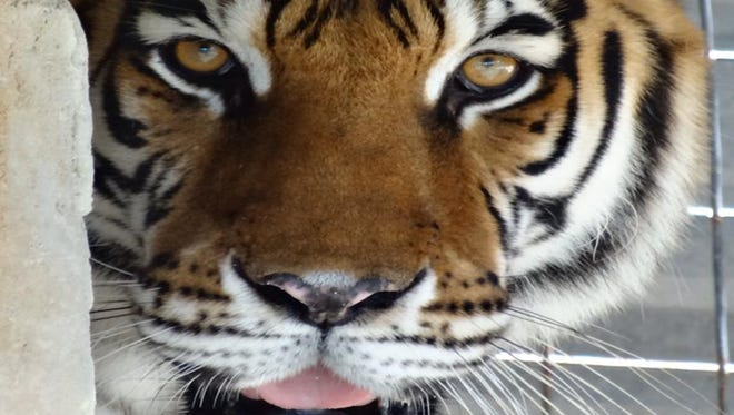 Octagon Wildlife Sanctuary's residents include 14 tigers, seven bears, four hyenas, four primates, three lions, two coyotes, a leopard, a raccoon and approximately 60 birds.