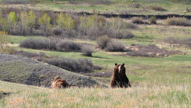 Two adult male grizzly bears in the Deep Creek area of the Rocky Mountain Front in 2014.