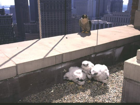 Peregrine falcons have adapted and made their own nesting spots atop tall buildings and bridges, mimicking their habitat in high cliffs. Here, an adult is protecting its young chicks.