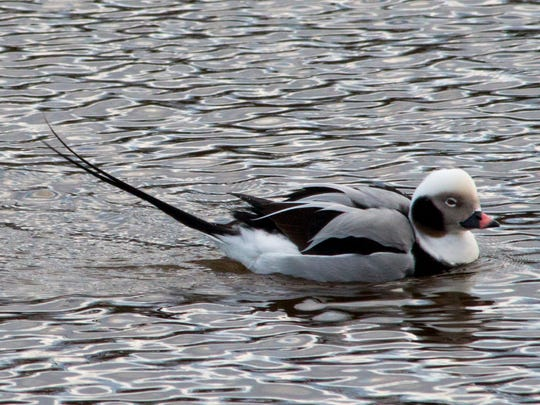 A long-tailed duck in the Two Rivers harbor Friday,
