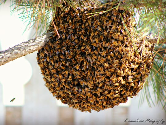 That is one enormous ball of bees. Brittany McLeod