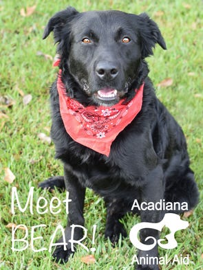Bear, a 1-year-old flat-coated Retriever Mix, is energetic