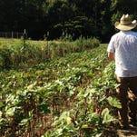 Evan McCommon walks the okra and tomato fields at Mahaffey Farms.