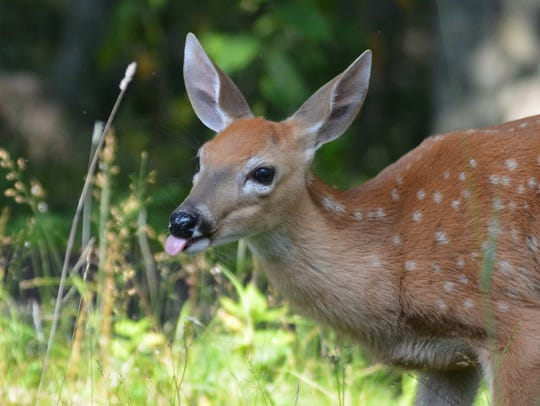 It's a known fact that coyotes prey on fawns.