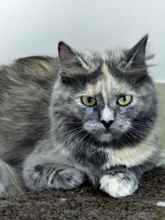 Steely is a beautiful dilute tortie, medium-haired girl who came into the shelter pregnant and had a litter of kittens. Mom and babies went into foster care and now Steely is finished feeding her kittens, has been spayed and is looking for a home. She's super sweet and will make someone a great friend.
