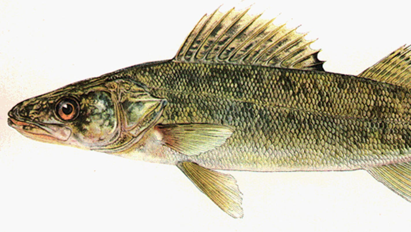 Try Walleye Fishing This Summer