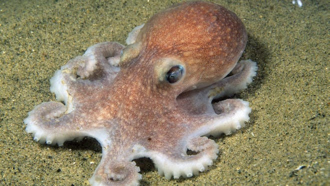The native octopus, Bathypolypus articus, can be found hiding in crevices along the Atlantic Seaboard to Northern Canada.