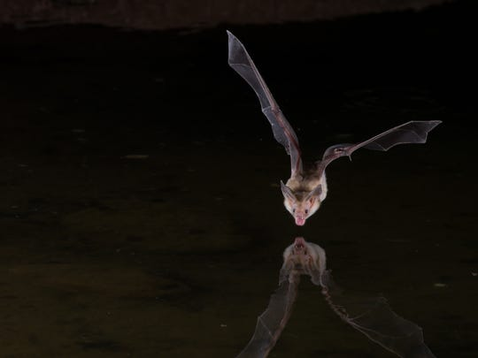 Bat: A nocturnal, insect-eating flying mammal known to sleep in positions considered awkward by humans. Arizona is home to 28 species.