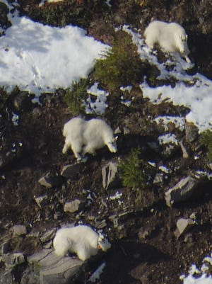 Rocky Mountain goats, shown here, and bighorn sheep are real recovery success stories in Oregon after both were reintroduced.