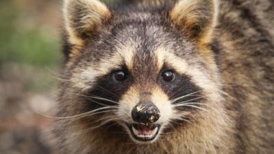 A rabid raccoon was found in Far Hills for the second time this year.