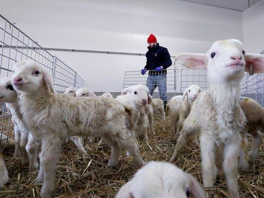AP Assaf sheep 18065763268558-1-.jpg
