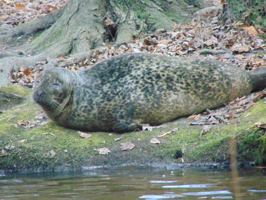 A wayward female harbor seal rests on the bank near