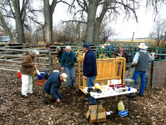 Branding day on a ranch in the Sun River Valley draws