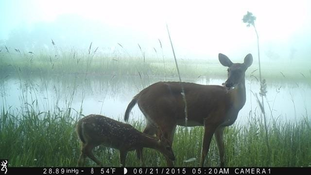 A doe with a fawn take by their pond in the early morning hours