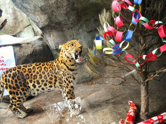 Chobby, one of the Minnesota Zoo's Amur leopards, was more interested in feeling pine needles on his tongue than in the fresh poultry in the wrapped presents under the decorated tree.