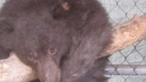 Cinder the bear released back into the wild