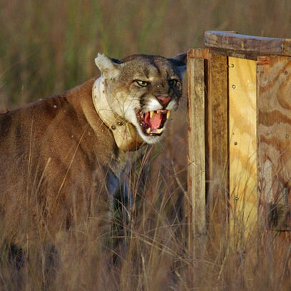Scientists estimate growing Florida panther population