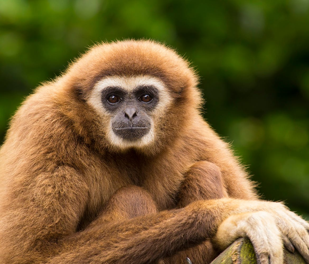 A stock photo of a white handed gibbon sitting in a tree