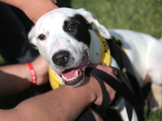 Jonesy was one of several dogs brought by the Humane Society of Richland County for the Strutt Your Mutt event at Ontario's Marshall Park on Saturday.