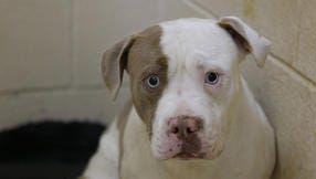 A pit bull dog, said to be about 2 years old, taken from the home of suspects, where two other pit bulls attacked and mauled a young girl in Westwood, is photographed in a kennel at the SCPA in Northside Tuesday June 10, 2014. It is unknown at this point whether or not the dog was involved in the attack of the young girl.