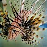 Venom & Vino dinner event will highlight ways to help eradicate invasive lionfish