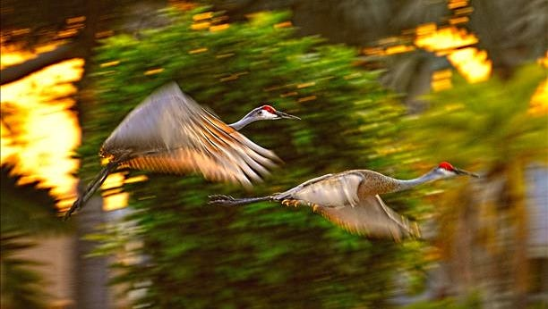 Sandhill cranes take off in the last light of the day. Reader-submitted photo.