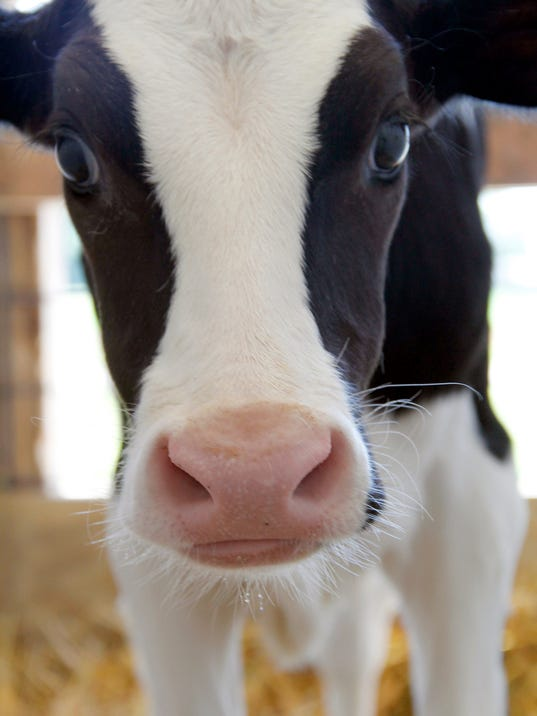 -APC Dairy Farm lawsuits cow.jpg_20140207.jpg