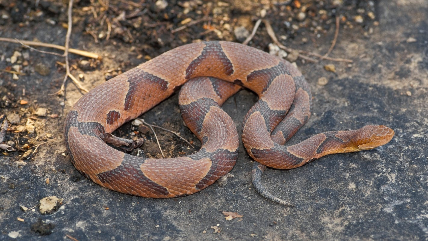 dispelling the myths surrounding copperhead snakes