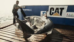 Katharine, a 14-foot great white shark, was captured