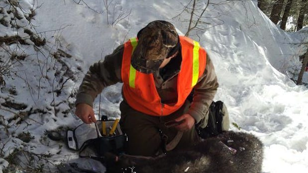 A mature female wolf that had been captured an fitted with a radio collar in February 2014 was recaptured and spayed after biologists realized it had probably been bred by a domestic dog.