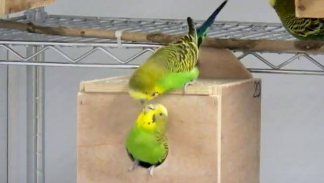 Parakeets that Angela Medina-Garcia is using in her research to see whether females preferred to mate with males that scored better on tests.