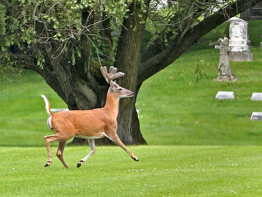 Deer enjoy the peace of Crown Hill Cemetery, Friday,
