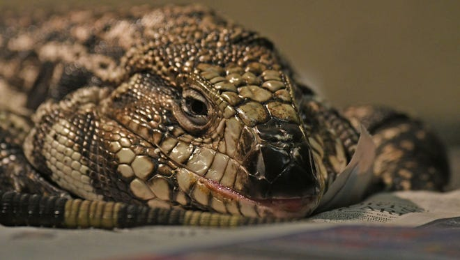 A tegu lizard is one of 27 reptiles taken from an abandoned house in Ontario.