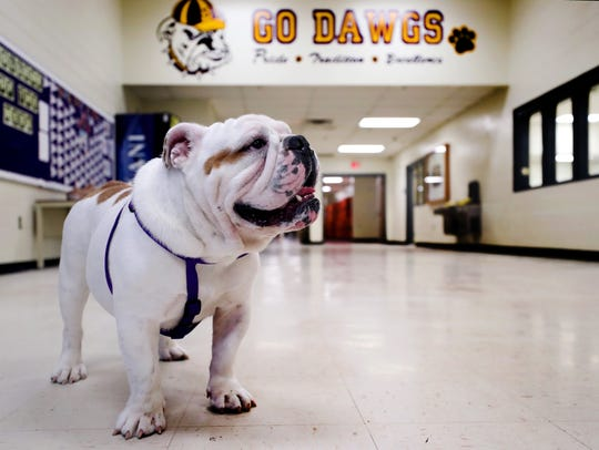 Smyrna High School has a new top dog roaming the hallways. Ace, a rescued bulldog and the school's new mascot, stands in the hallway of the school on June 11, 2018.