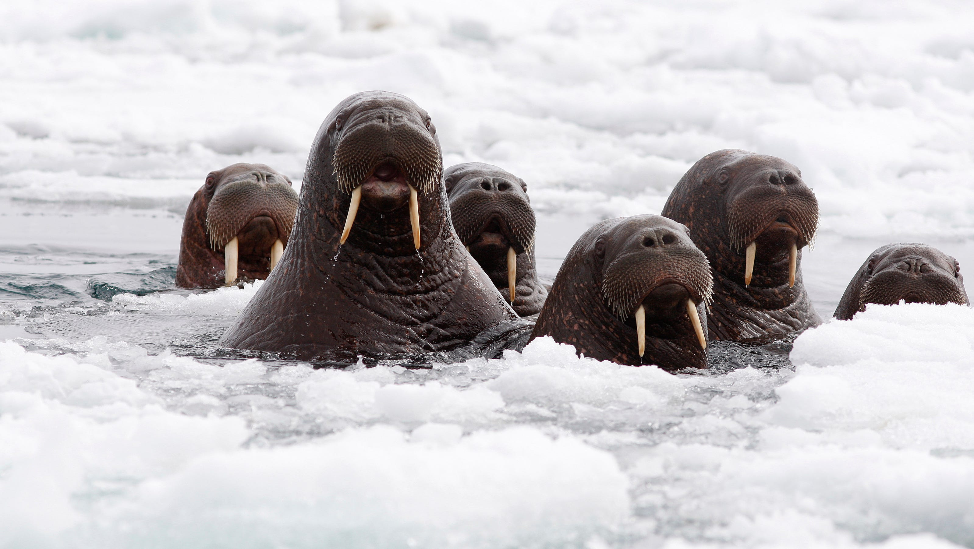 Sign Of Warming 35k Walruses Haul Out On Alaskan Shore