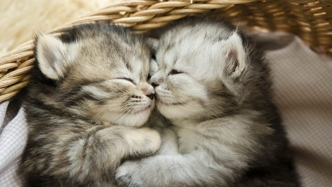 Cute tabby kittens sleeping and hugging in a basket.