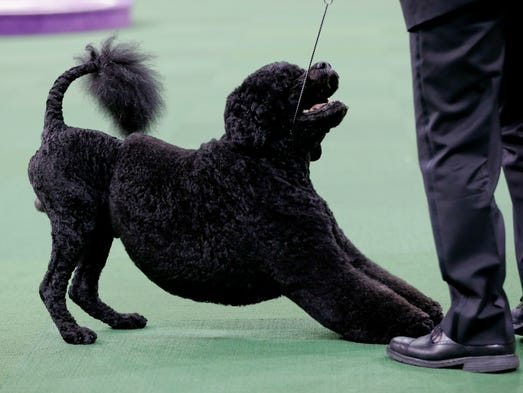 Portugese Water Dogs At Westminster Dog Show