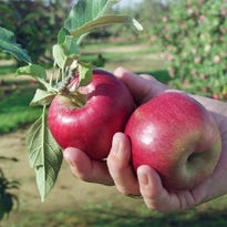 Apple picking in New Jersey: Where to go, what to pick