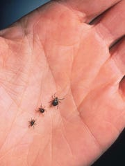 Pictured are an adult female deer tick, dog tick, and a Lone Star tick. Rocky Mountain spotted fever can be transmitted by several ticks, the state says, including the American dog tick — the most common tick in Michigan