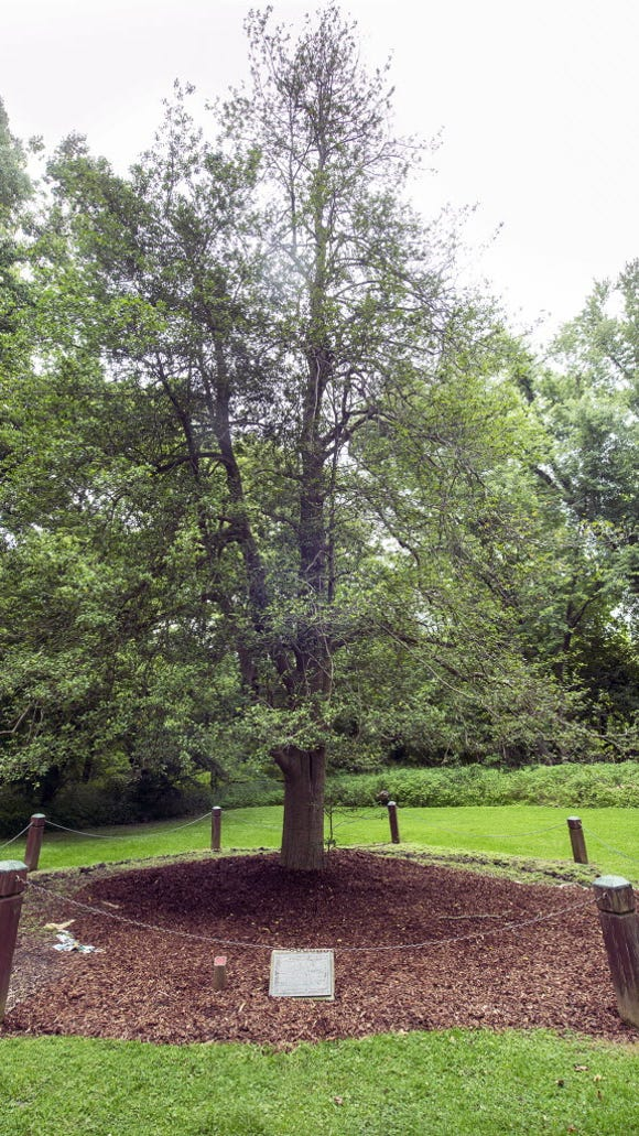 This American holly tree, on the grounds of Indian Steps Museum in southeastern York County, is believed to be the largest in this latitude, according to the museum's website. Here are its measurements: Height: 65 feet tall. Spread of branches: 65 feet. Circumference of the trunk, 76 inches.
