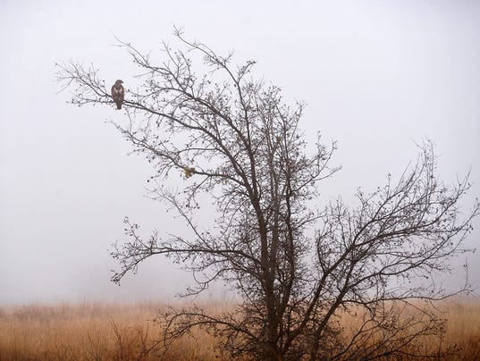 Hawk In Fog 2