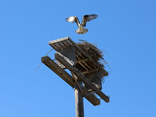 A male osprey drops a fish in the nest where his three