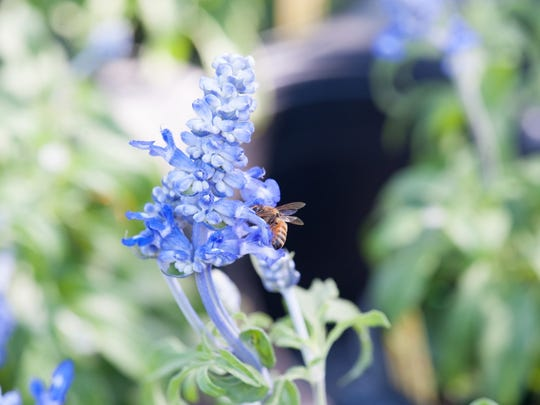 Bee visiting blue salvia.