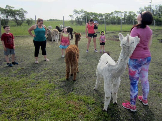 From left, the Mullallys--Max, Kim and Mikenah, and the Blacks--Deirdre, Rowan and Fiona during a class with the instructor Kaeleigh Ayre at 313 Farms in Anola, Manitoba. The farm is offering hip hop dance, pilates and cardio exercise classes -- with alpacas.