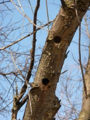 Dead wood makes ideal woodpecker nesting spots